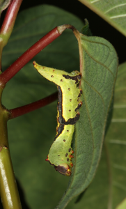 PROFESSOR PUBLISHES RESEARCH ON CATERPILLARS